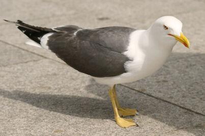 Seagull41