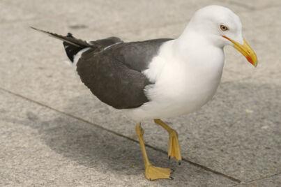 Sea-gull-51