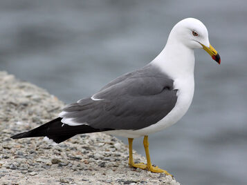 Black-tailed-Gull TE-2