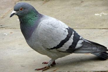 Pigeon