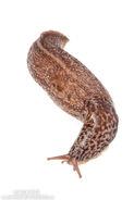 AH-Great-Grey-Slug-Limax-maximus-1680