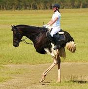 OSTRICH HORSE