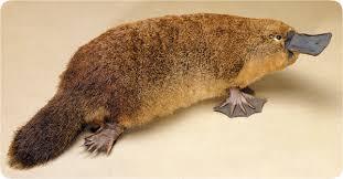 Platypus (1)