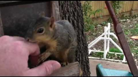 Vicious wild squirrel attack