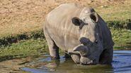 150917214230-02-white-rhino-nola-exlarge-tease