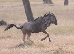 Blue Wildebeest Mikumi clipped,jpg