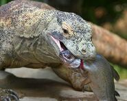Komodo-dragon-eating-fish