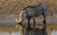 Large-Warthog-photo