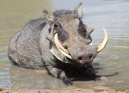 Warthog-tusker-(1280x917)-
