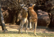 Red kangaroo01