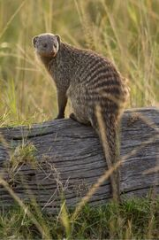 Banded Mongoose on a log