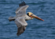 Brown pelican in flight (Bodega Bay)