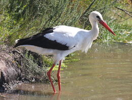 White Stork RWD