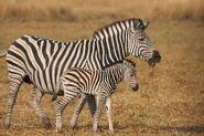 IMG 3615 web zebra