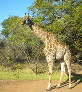 Giraffa camelopardalis -Zambia-8