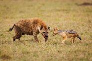 Hyena vs Jackal