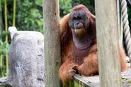 Orangutan, Sumatran