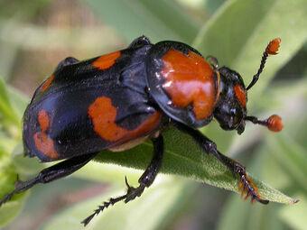 American Burying Beetle Creatures Of The World Wikia Fandom
