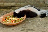 Striped-skunk-or-Mephitis-mephitis-Thailand-Teerapun-s