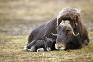 Muskox-resting-with-calf