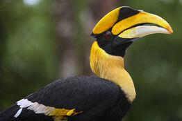 Great-hornbill-perfet