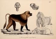 Neue Wirbelthiere zu der Fauna von Abyssinien gehörig (1835) Theropithecus gelada