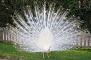 12-albino-Peacock