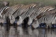 2-Equus zebra