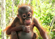 Orangutan-baby-looking1