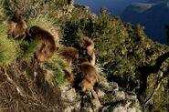2880px-Gelada cliff
