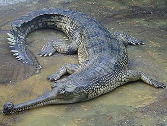 Gharial | Creatures of the World Wikia | Fandom