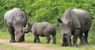 Rhino Family1
