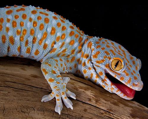 Tokay Gecko Creatures Of The World Wikia Fandom Powered By Wikia