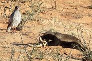 Honey badger goshawk cobra 2016-11-16