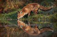 Red-Fox.