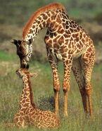 Giraffe-background