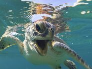 Green-turtle-woo