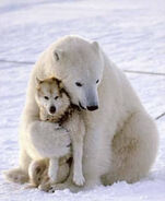 Polar-bear-dogs-10