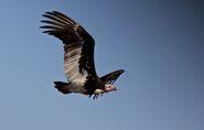 Trigonoceps occipitalis -Kruger National Park, South Africa -flying-8