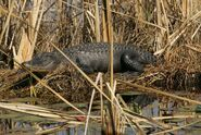 Nile crocodiles and alligators beautiful dangerous animal attacksnews pictures