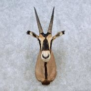 Fringe-eared-oryx-shoulder-mount-for-sale- 14558-for-sale-at-the-taxidermy-store