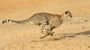 Cheetah-running
