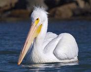 Mikebaird - American White Pelican (Pelecanus erythrorhynchos ) (bird) in Mo (by)