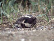 American badger 1