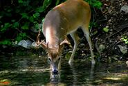 CWD-Whitetail-Buck-drinking-from-river-Photo-Warner-