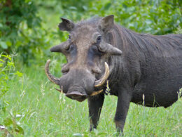 Common Warthog (Phacochoerus africanus) big male (11839008673)