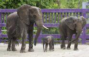 Disney's Animal Kingdom Elephants