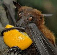 Fruit Bat Drinking Orange Juice 600