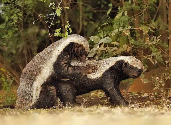 Image Honeybadger Mating Jpg Creatures Of The World