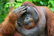 Orangutan flange flanged male 3